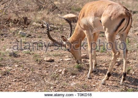 Impala (Aepyceros melampus), taken in South Africa - Stock Image