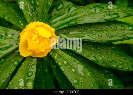 Closeup of yellow globe flower and green plant in rain - Stock Image