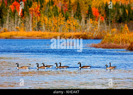 Canadian geese enjoy an autumn swim on Mud Lake, near Sussex, Kings County, New Brunswick, Canada. - Stock Image