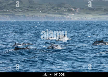 Atlantic spotted dolphin, Stenella frontalis group, porpoising in front of Horta, Faial Island, Azores, Atlantic - Stock Image