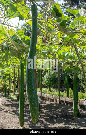 Green calabash, bottle gourd or white-flowered gourd  Lagenaria siceraria exotic vegetable riping on vine in garden - Stock Image