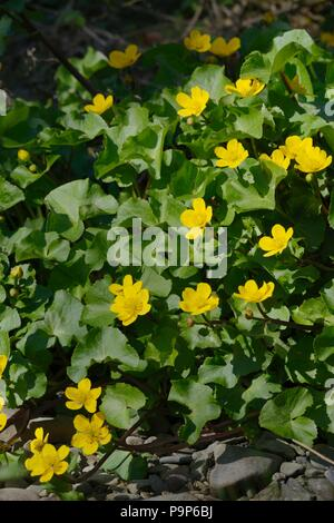 Caltha palustris, Kingcup or Marsh Marigold, Wales, UK. - Stock Image
