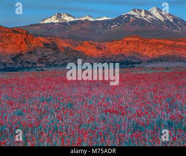 Globemallow field and La Sal MOuntains Upper Spanish Valley, Utah Sphaerlcea grossulariaefolia - Stock Image