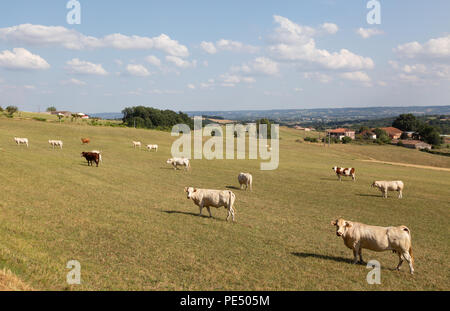 Cattle in a field on a french farm, Lot et Garonne, Aquitaine, France Europe - Stock Image