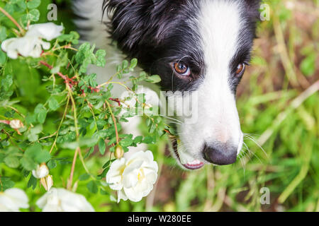 Funny outdoor portrait of cute smilling puppy border collie sitting on park or garden background. New lovely member of family little dog gazing and wa - Stock Image