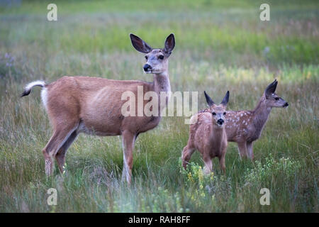 Mule Deer doe with twin fawns (Odocoileus hemionus) in grassland - Stock Image