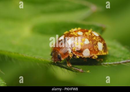 Cream Spot Ladybird (Calvia quattuordecimguttata) sitting on buttercup leaf and covered in pollen. Tipperary, Ireland - Stock Image