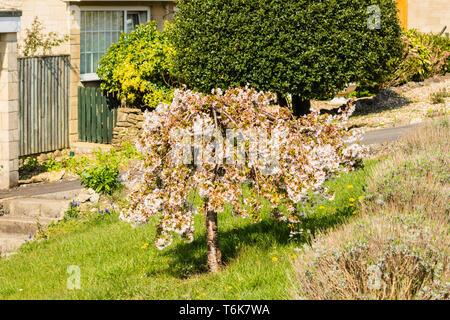 A dwarf Weeping Cherry tree with white blossom in the centre of a front lawn. - Stock Image