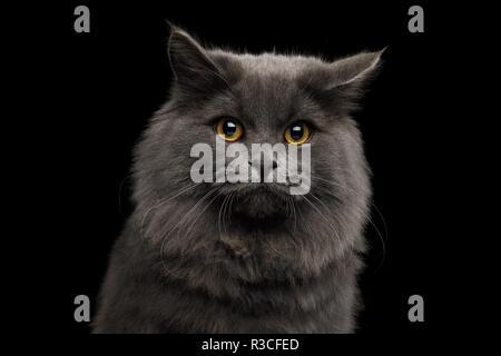 Portrait of Afraid Gray Cat with Sad eyes on Isolated Black Background - Stock Image