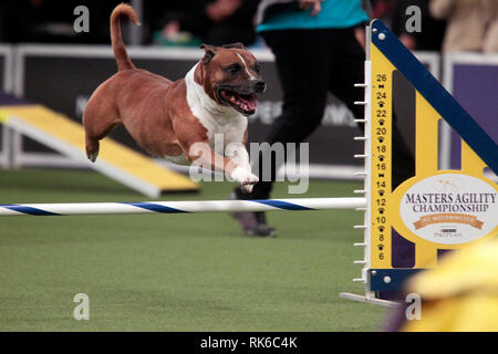 New York, USA. 09th Feb, 2019. New York, USA. 09th Feb, 2019. Westminster Dog Show - Sarge, A Staffordshire Bull Terrier, competing in the preliminaries of the Westminster Kennel Club's Master's Agility Championship. Credit: Adam Stoltman/Alamy Live News - Stock Image