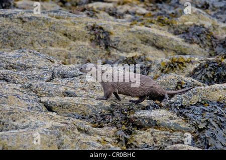Eurasian otter (Lutra lutra) adult on rocky shore. Shetland Isles. June. - Stock Image