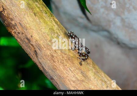Marañón poison frog - Stock Image