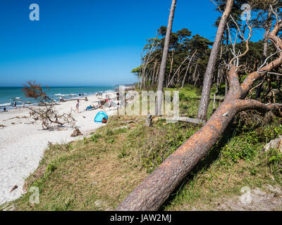 Fallen trees at the beach 'Weststrand' west of Prerow, beach access,  Baltic Sea, peninsula of Fischland - Stock Image