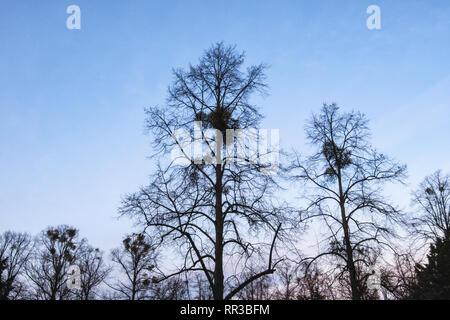 Heidelberger Platz, Wilmersdorf-Berlin. Bare trees in Winter with Mistletoe,parasitic plant, against blue sky - Stock Image