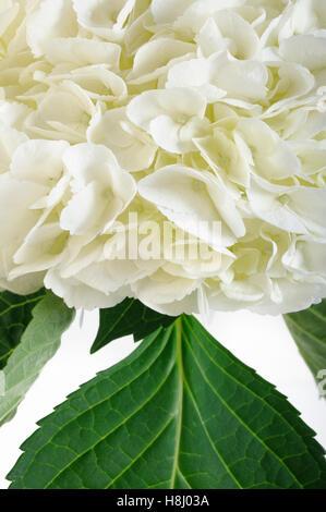 white hydrangea flowers - Stock Image