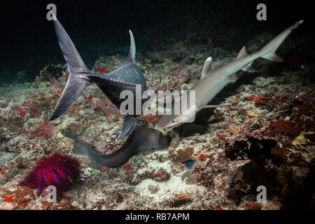 Giant Moray and Shark hunting at Night, Gymnothorax javanicus, Indian Ocean, Maldives - Stock Image