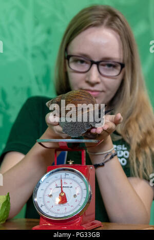 London, United Kingdom. 23 August 2018. Annual weigh-in records animals' vital statistics at ZSL London Zoo. PICTURED: West African giant land snail Credit: Peter Manning/Alamy Live News - Stock Image