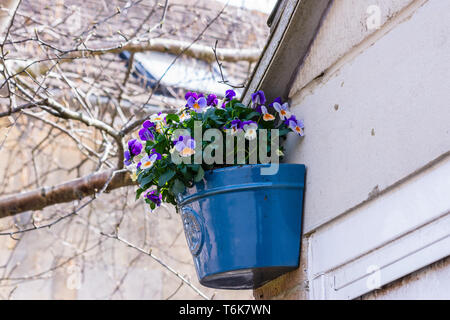 Cultivated violas or pansies in purple, orange and white are in a blue ceramic planter fixed on the wall next to a garage door - Stock Image