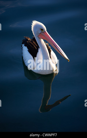 Pelican bathed in late afternoon light - Stock Image