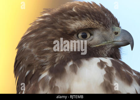 Colorful yellow and blue background accents close up portrait of a wild hawk.  Location is Bosque del Apache National Wildlife Refuge in New Mexico. - Stock Image
