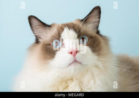 regdoll male cat looking at camera surprised - Stock Image