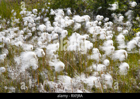 Arctic cotton - Stock Image