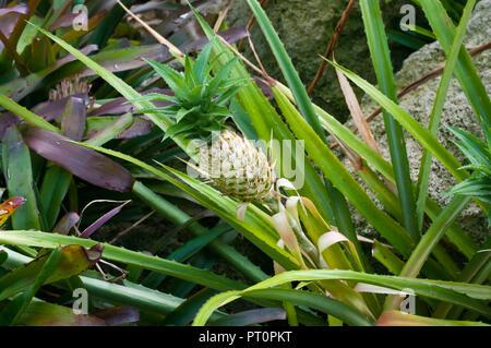 Ananas fritzmuelleri ( variegatus ) Variegated Pineapple - Stock Image
