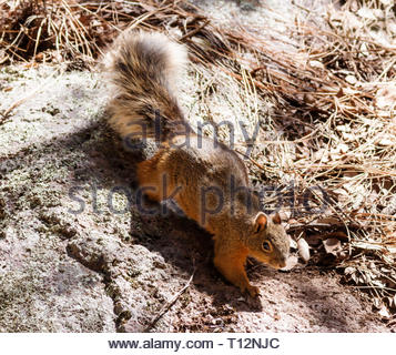 Chiricahua Fox Squirrel, Sciurus nayaritensis chiricahuae, Sciurus apache chiricahuae, Mexican Fox Squirrel, Apache Fox Squirrel, in Arizona USA - Stock Image