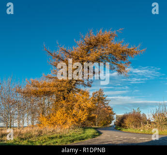 A mature European Larch Larix decidua in gold autumn colour in sunshine against a clear blue sky background - Stock Image