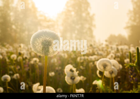 Soft dandelion field in sunrise warm light - Stock Image