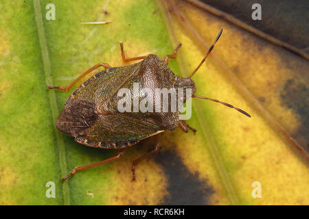 Dorsal view of Common Green Shieldbug (Palomena prasina) in its winter colouration. Tipperary, Ireland - Stock Image