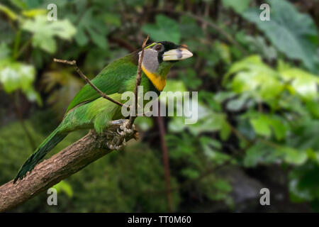 Fire-tufted barbet (Psilopogon pyrolophus) perched in tree, native to Peninsular Malaysia and Sumatra - Stock Image