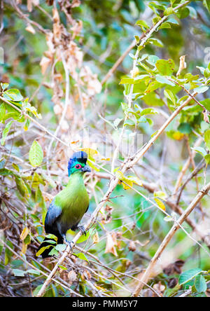 Purple-crested turaco, Tauraco porphyreolophus, in a bush at low level. - Stock Image