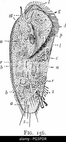 . A manual of zoology. Zoology. IV. CILIATA: HTOTRICHA, SUCTORIA 197 folding in the anterior end. Vorlicella* is solitary; Carchcsiiinr' forms colonies with branched stalks; Zoothamnion/' colonies imbedded in a common jelly; Epistylis* (fig. 52), branched colonies with rigid stalks. The fantastic Ophryoscohx, Cydoposthium, etc., are parasites in the stomach of ruminants. Order IV. Hypotricha. In this order the body is more or less flattened and ventral and dorsal sur- faces are differentiated. The back lacks cilia, but often bears spines and bristles. On the ventral side are several longitudi - Stock Image