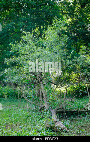 small tree snapped at base continues to grow along the ground horizontally in a garden zala county hungary - Stock Image