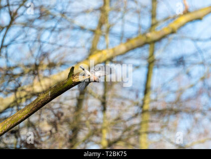 Male Chaffinch (Fringilla coelebs) taking flight from rotting branch, Bodenham Herefordshire England UK. March 2019. - Stock Image