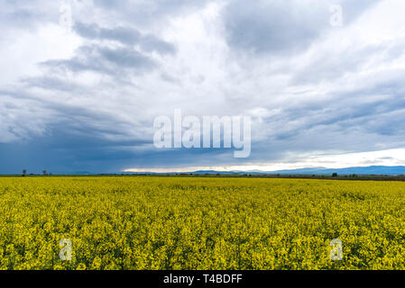Spring agricultural landscape with big rapeseed fields , farmland panorama with dramatic cloudy rainy sky. - Stock Image
