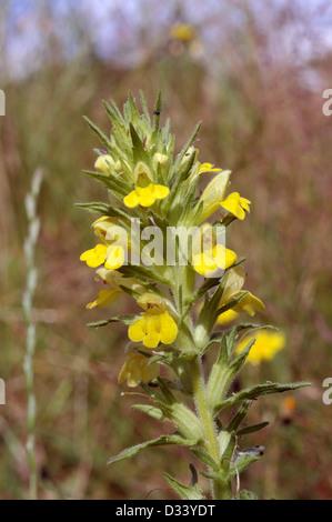 Yellow bartsia / glandweed (Parentucellia viscosa : Scrophulariaceae), UK - Stock Image