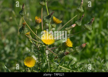 Prickly sow-thistle, Sonchus asper, bold spiny plant coming into flower, Berkshire, May - Stock Image