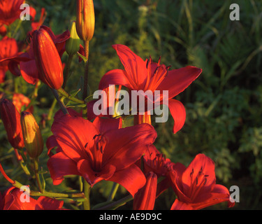 Red asiatic lilies in Vermont garden - Stock Image