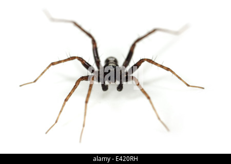 Male Pardosa lugubris spider, part of the family Lycosidae - Wolf spiders. Isolated on white background. - Stock Image