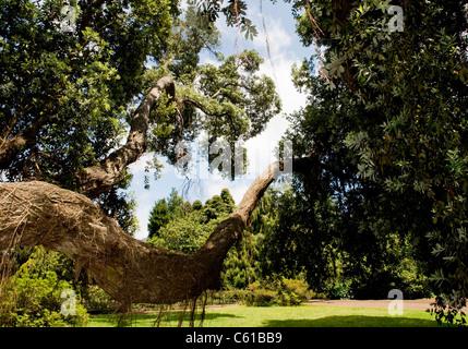 A Metrosideros, or Christmas Day tree, at the Palheiro Estate near Funchal, on Madeira Island. - Stock Image