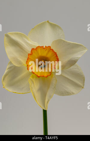 Daffodil flower (Narcissus) - Stock Image