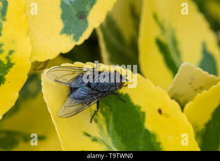 Top down view of a Calliphora vomitoria (Blue bottle fly or Bottlebee), a common blow fly on a Euonymus leaf in Spring in West Sussex, UK. - Stock Image
