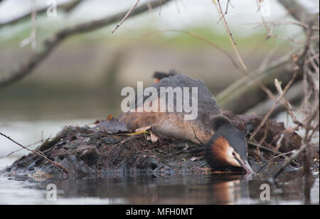 adult Great Crested Grebe, (Podiceps cristatus), sitting on nest with eggs,Regent's Park, London, United Kingdom, British Isles - Stock Image