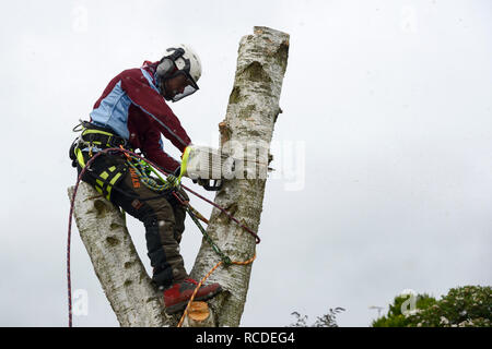 A tree surgeon fells a silver birch tree while wearing a full safety harness and face mask - Stock Image