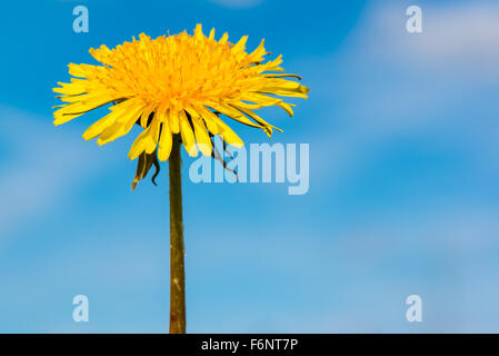 Closeup of dandelion flower and blue sky on background - Stock Image