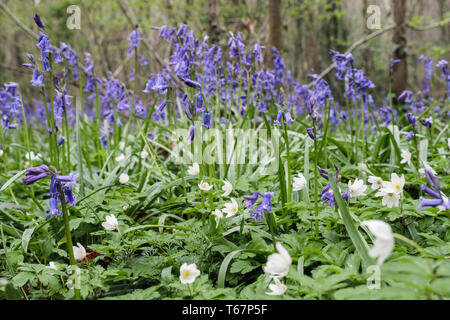 Wood Anemones Anemone nemorosa flowering with native English Bluebells in a Bluebell wood in spring. West Stoke Chichester West Sussex England UK - Stock Image