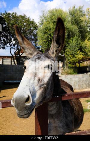 Donkey looking over the fence, Golden Donkeys farm, Skarinou, Cyprus October 2018 - Stock Image