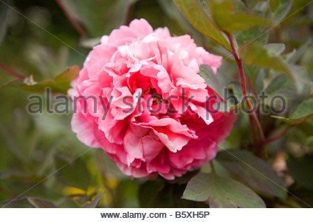 PAEONIA TAIYO PEONY CLUMP FORMING HERBACEOUS PERENNIAL ROSE PINK DOUBLE FLOWERS ARE PRODUCED IN MID SPRING - Stock Image